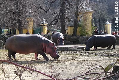 Flußpferde, 19. März 2010