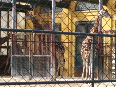 Giraffen an der frischen Luft, 17. März 2010