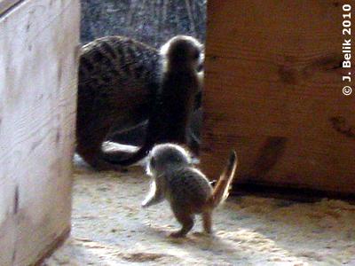 Erdmännchen-Baby, 3,5 Wochen alt, 23. März 2010