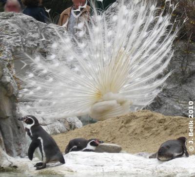 Der weiße Pfau in der Pinguin-Anlage, 20. März 2010