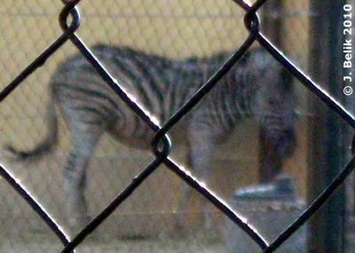 Enzo im abgetrennten Bereich der Zebra-Anlage, 7. April 2010