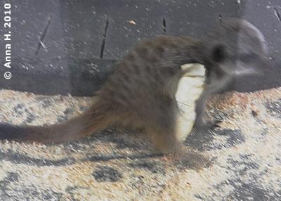 Da hatte das Erdmännchen-Baby Glück im Unglück, es trägt nun einen Gipsverband, 11. April 2010