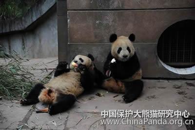 Gemeinsam schmeckt'S am besten! Fu Long und Wu Jie bei der Nachmittagsjause in Bi Feng Xia, 21. April 2010