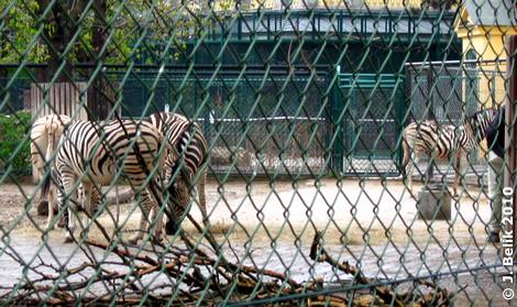 Zebras samt Aufpasserin in der Außenanlage, 13. April 2010