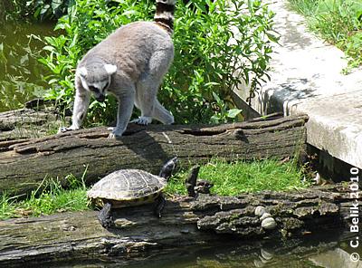 Bleib bloß auf Deiner Fahrbahnseite! Katta und Rotwangenschildkröte, 15. Juni 2010
