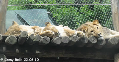 Die Löwendrillinge: schlafen, schlafen, schlafen, 22. Juni 2010