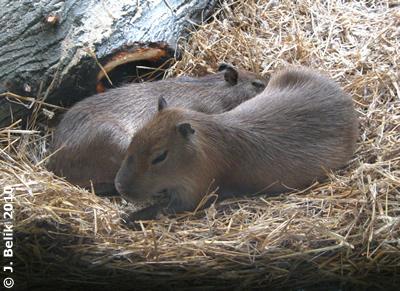Wasserschwein-Nachwuchs, 22. Juni 2010