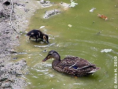 """Enten-Mama und Küken am Privatstrand """"Nashorn-Suhle"""", 28. Junli 2010"""