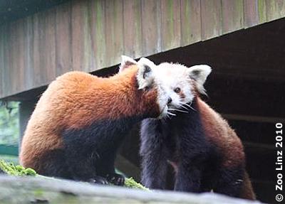 Lao und Lim, 26. Mai 2010 (Foto: Zoo Linz)