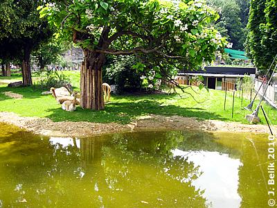 Vikunjas beim Teich re hinten das kleine Gebäude mit der Besucherterrasse, 26. Juni 2010