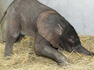 Numbis Söhnchen, wenige Stunden nach der Geburt, 6. August 2010 (Foto: Tiergarten Schönbrunn / Daniel Zupanc)