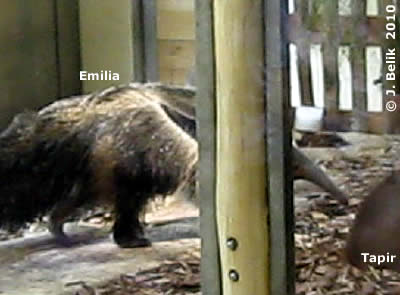 Tapir aufwecken  (und dann schnell wieder verschwinden) macht Spaß! Emilia, 11. August 2010