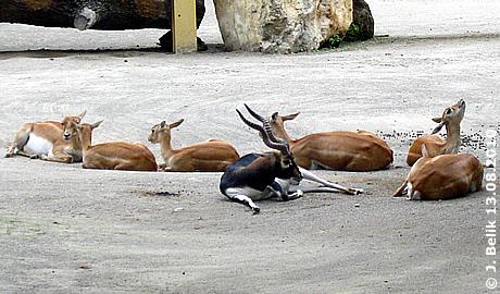 Hirschziegenantilope mit seinem Harem im Nashorn-Park, 13. August 2010