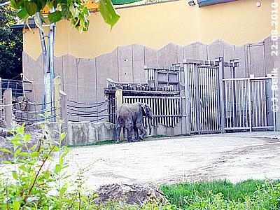Elefantenkind Kibo ganz alleine in der großen Anlage, 22. August 2010