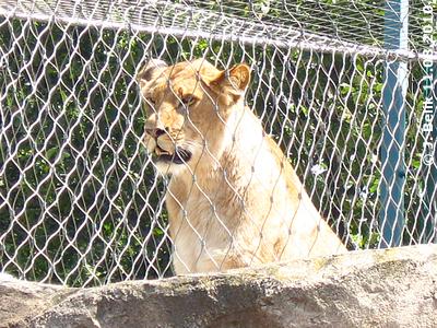 Eine der Löwenmädl, 2 Jahre alt, 11. August 2010