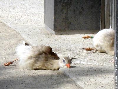 """Die beiden Seriemas beim """"Sonnen"""", 5. August 2010"""