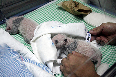 Panda-Zwillinge, 15 Tage alt, 22. September 2010 (Foto: Zoo Madrid)