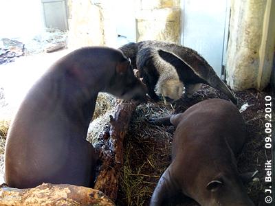 Die Tapirbuben liegen auf den Schlafplätzen der Ameisenbären, Ilse ist nicht sehr begeistert, 9. September 2010