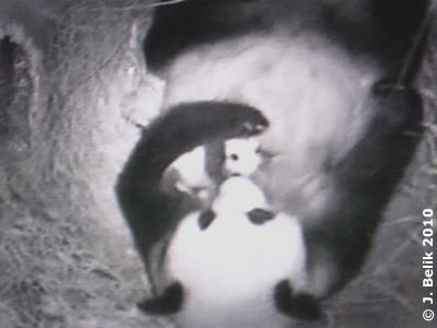 Yang Yang und Zwergi, 4 Wochen alt, 22. September 2010 (Screenshot aus Video )