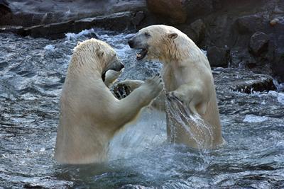 Sprinter und Nanuq, 1. Oktober 2010 (Foto: Zoo Hannover)