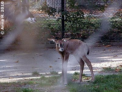 Pferdeantilopen-Baby, 5 Tage alt, 13. Oktober 2010