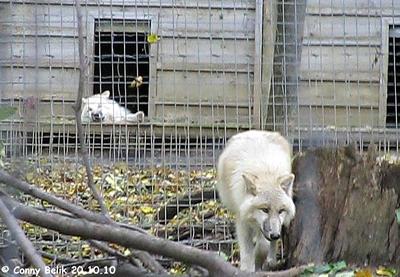 Die neue Wölfin (li hinten) und einer der Wolfbuben (re vorne), 20. Oktober 2010