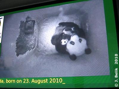 Mama Yang Yang und Fu Longs Brüderchen, 9 Wochen alt, 29. Oktober 2010 (Screenshot aus Video)