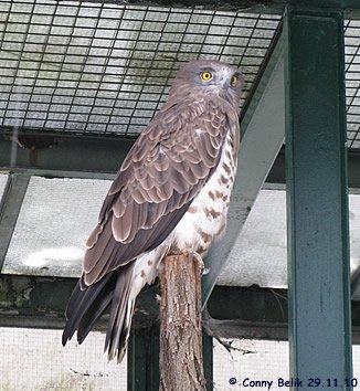 Auch nicht dem Schlangenadler, 29. November 2010