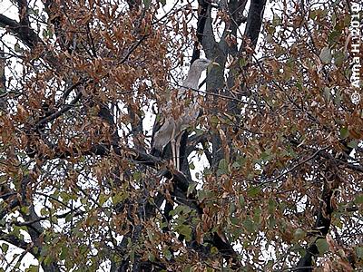 Seriema auf dem Schlafbaum, 1. November 2010