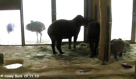 Tapire und Capybaras in der warmen Stube, 29. November 2010