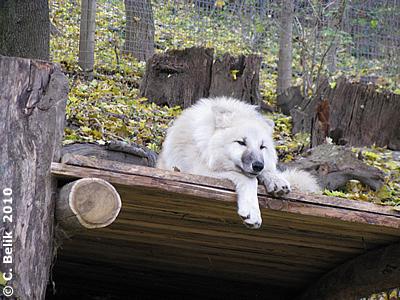 Die Wölfin auf ihrem Lieblingsplatz, 4. November 2010