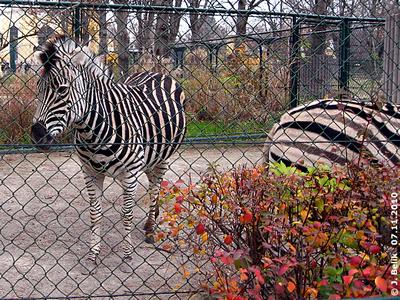 Die Zebras sind ganz schön wohlgenährt, 7. November 2010
