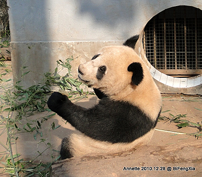 Fu Long in Bi Feng Xia, 28. Dezember 2010