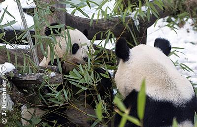 Die Pandaeltern gemeinsam beim Bambusfressen, 29. November 2010