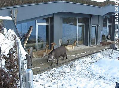 Tapir, Vikunjas und Nandus vorm Südamerika-Haus, 7. Dezember 2010