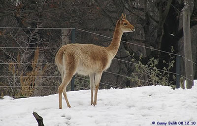 Vikunja im Schnee, 8. Dezember 2010