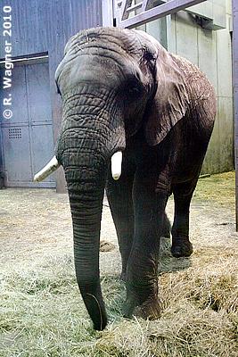Elefantenbulle Abu, knapp 10 Jahre alt, in der Innenanlage in Halle, 17. Dezember 2010