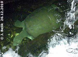 Batagur, 26. Dezember 2010