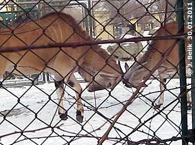 Elenantilopen, 30. Jänner 2011