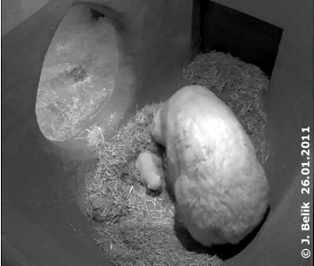 Olinka verteilt das Heu in der Wurfhöhle,