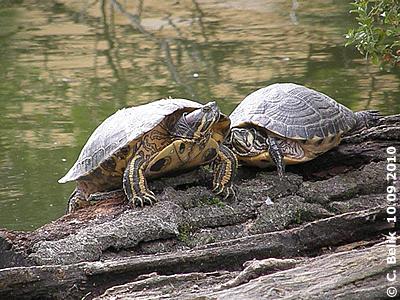 Rotwangen-Schmuckschildkröten beim Sonnen, 10. September 2010