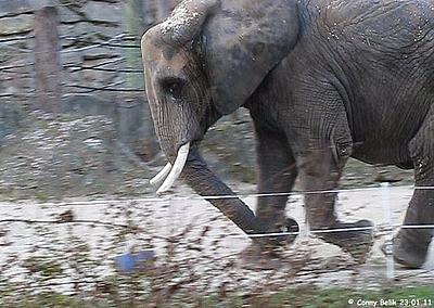 Ein Ball ist auch für Elefanten ein ganz besonderes Spielzeug, Tonga, 23. Jänner 2011