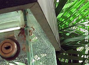 Blattschneiderameisen auf Abwegen, 25. Februar 2011