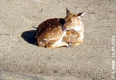 "Wie ""Bambi"", absolut entzückend! Axishirschbaby, wenige Wochen alt, 11. Februar 2011"