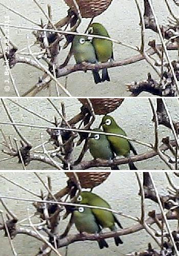 Kikuyu Brillenvögel, 25. Februar 2011