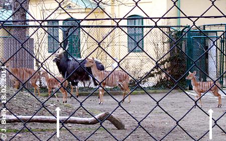 DIE Nyala-Babys (Pfeil) mit ihren Müttern und dem Papa (dunkles Tier im Hintergrund), 18. Februar 2011