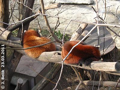 Rote Pandas, 23. März 2011