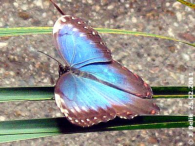 Blauer Morpho oder , 25. Februar 2011