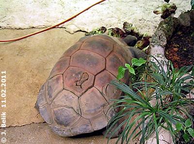 Riesenschildkröte Schurli, 11. Februar 2011