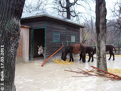 Vier Esel, friedlich vereint, 17. März 2011